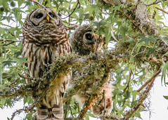 Mother and Dad to the Rescue (backyardzoo) Tags: barred owl shipmaster