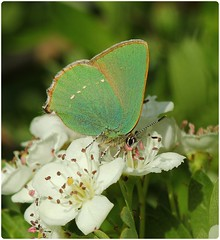 Green Hairstreak on hawthorn blossom (glostopcat) Tags: hawthornblossom macro may spring greenhairstreak hairstreak butterfly insect invertebrate butterflyconservation prestburyhillnaturereserve