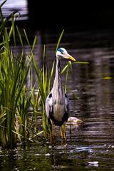 A Heron in Watford Parade Pond (Jonathan Goddard1) Tags: nikon d850 sigma150600mmcontemporary nature bird heron wildlife