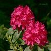 Różanecznik, azalia, rododendron (Rhododendron) (Adam Żabiński) Tags: azalia rododendron różanecznik kwiaty flowers wiosna sprigtime adamzphotography