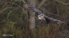 Great Horned Owl_T3W2604 (Alfred J. Lockwood Photography) Tags: alfredjlockwood nature greathornedowl canadianraptorconservancy crc ontario canada autumn morning flight birdsofprey