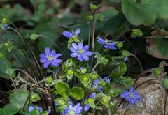 We're in bloom again (Timo Halonen) Tags: anemone sinivuokko flower nikon dx fx 70300mm hepatica nobilis liverleaf