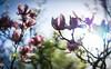 Shameless Spring. One more. (gorelin) Tags: sony a7ii a7 alpha zeiss fe55f18za 55mm magnolia magnolias ogrod botaniczny botanical garden spring shameless poland polska powsin warszawa warsaw sunrise sun bokeh