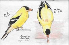 Goldfinch Studies (Numinosity (Gary J Wood)) Tags: drawings pencildrawings pendrawings