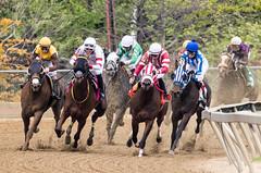 2018 Pimlico Race track (55) (maskirovka77) Tags: pimlico dirt mare race racehorse threeyearold turf yearling
