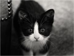 Noor! (Ageeth van Geest) Tags: 7dwf jong little small schattig adorable cute sundaylights kitten monochrome blackandwhite bw pet eyes animal cat