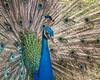 Maui Peacock (strjustin) Tags: peacock bird animal beautiful portrait canon80d hawaii maui