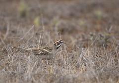 Lark Sparrow 2 (brian.magnier) Tags: california san diego birds animals wildlife nature desert arid scrub habitat mission trails park