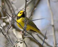 2018-05-01 Montrose Point 12 (JanetandPhil) Tags: 2018naturepreservesvariouslocations birds montrosepointbirdsanctuary lincolnpark chicagoparkdistrict chicagoil hoodedwarbler setophagacitrina