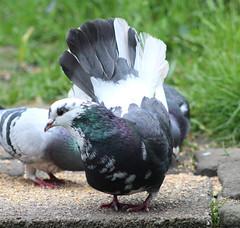 Fantail pigeon (the.haggishunter) Tags: wild nature bird pigeon fantail