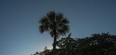 Sabal Palmetto - Barefoot Beach Preserve - Collier County - Florida - 07 May 2017 (goatlockerguns) Tags: bonita springs naples fort myers usa unitedstatesofamerica gulfofmexico ocean nature natural south southeast southern
