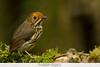 Ochre-fronted Antpitta - Abra Patricia, Peru (Vivek Khanzodé (www.birdpixel.com)) Tags: antpittas birdfamilies worldbirdspecies grallaridae lifer nature birds grallariculaochraceifronsgrallariculaochraceifrons birdinglocationsinperu country wildlife abrapatricia grallariculaochraceifrons worldbirdspecies1537 fundoaltonieva peru birdspeciesnames ochrefrontedantpitta birdfamiliesscientific amazonas pe