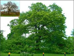 Old Oak Tree .. (** Janets Photos **) Tags: uk trees oaktrees nature seasons months
