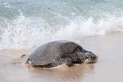 A Big Turtle in Paia, Maui, Hawaii (Ren Photography) Tags: paia hawaii unitedstates us