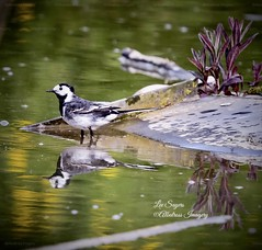 Pied Wagtail reflection. (Albatross Imagery) Tags: wildanimals wildbirds springwatch rspb britishwildlife colourful colour water reflections reflection gorgeous beautiful hampshirewildlife hampshire ukwildlife uk flickrwildlife flickr instagram photographer photo photography nikonphotography nikonwildlife nikon naturephotography nature wildlifephotographer wildlifephotography wildlife bird birds wagtail piedwagtail