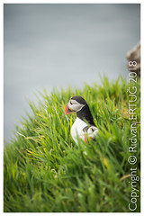 Atlantic Puffin /  Fratercula arctica - Taken at the coast of Skomer Island, Pembrokeshire, Wales, UK (I'll catch up with you later, your comments and cr) Tags: atlanticpuffin fraterculaarctica skomerisland pembrokeshire wales nikkor200500mmf56eafsed nikond610fx wildlifephotography birdphotography rertug papageitaucher frailecillo atlántico macareux moine siapopegei fradinho papegaaiduiker pulcinelladimare ニシツノメドリ(西角目鳥)