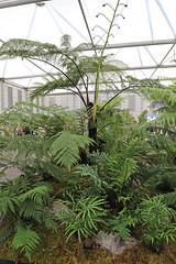 Kells Bay Gardens @ Chelsea Flower Show 2018 (vireyauk) Tags: kellsbaygardens chelseaflowershow 2018 fern frond treefern