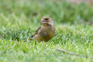 ♁ Greenfinch (Grünfink) - Shelling!