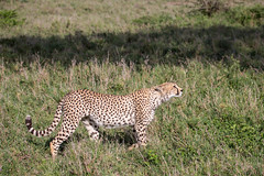 What's that up there? (Ring a Ding Ding) Tags: acinonyxjubatus africa ascilia bigcat namiriplains serengeti tanzania cat cheetah nature predator safari stalking wildcat wildlife