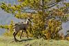 chamois (frederic.laroche6) Tags: chamois gorge du verdon provence nikon d7100 nikkor 200 500 f56