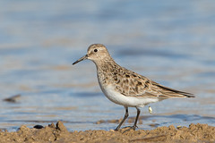 Sandpiper side view (Amy Hudechek Photography) Tags: