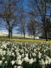 All things must pass (Ian Robin Jackson) Tags: death dying aberdeen garthdee scotland aberdeenshire april sony zeiss daffodis flowers flora flowerdisplay