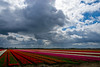 _DSC3862 (durr-architect) Tags: tulip fields noordoostpolder flower colour color bulb landscape field outdoor plant flowerbed flevoland