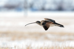 Long-billed Curlew (Boreal Impressions) Tags: flock northamerica lake estuary elegant nest arctictundra arctic migration winter wetland water migratorybird canada calgary alberta ab yyc april2018 april spring bigbird animal outdoor bird serene nikon birding birdsofcanada birdsofcalgary naturephotography bowriver wildlifeandnature wildlife wildlifephotography fauna prairie nature dailyhiveyyc capturecalgary sharecangeo parkscanada albertaparks flight birdinflight snow closeup explorecanada sky river longbilledcurlew numeniusamericanus charadriiformes scolopacidae shore prairies grasslands ponds