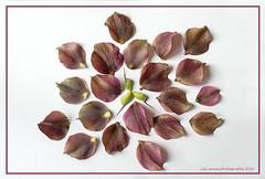 #SeperatePetals (aenee) Tags: aenee nikond7100 nikkor50mm118d smileonsaturday seperatepetals whitebackground purple petals flower helleborus kerstroos dsc3589 20180423