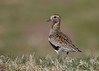Golden Plover (Martial2010) Tags: golden plover angus glen canon