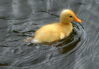 Yellow baby duck