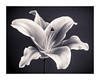 Fading Beauty (Dave Fieldhouse Photography) Tags: splittone monochrome blackandwhite lilly flower cutflowers grey macrophotography macro samyang samyangf28100mm project fuji fujifilm fujixt2 wwwdavefieldhousephotographycom detail lightandshade light natural nature flora