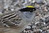 Golden-crowned Sparrow,  Zonotrichia atricapilla (jlcummins - Washington State) Tags: bird faun backyardbirds yakimacounty washingtonstate nature wildlife home zonotrichiaatricapilla fantasticnature