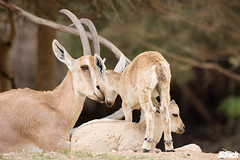 Nubian ibex, Capra nubian, Syrischer Steinbock @ En Avdat, negev desert 2018 (Jan Rillich) Tags: rillich janrillich canon canon5d jan photo foto picture photography fotografie eos digital wildlife animal nature beautiful beauty sunny sun fauna flora free animalphotography image israel urban urbannature park guest 2018 april 5d 5dmarkiii canon100400mm nubianibex capranubian syrischersteinbock enavdat negevdesert2018 steinbock negev desert wüste canyon ibex wadi nationalpark np עיןעבדת einavdat december kid offspring