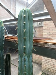 SS02 x ( T. peruvianus xJuul's ) (djnionas) Tags: bridgesii pachanoi peruvianus trichocereus