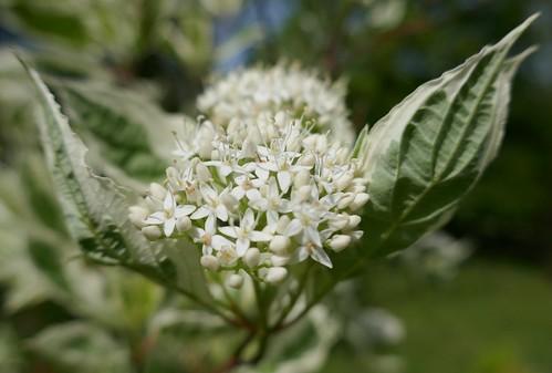 "Au jardin, cornouiller blanc ou Cornus alba ""Elegantissima"", Bosdarros, Béarn, Pyrénées Atlantiques, Aquitaine, France."