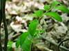 fürtös salamonpecsét / Solomon's seal (debreczeniemoke) Tags: tavasz spring erdő forest növény plant virág flower fürtössalamonpecsét solomonsseal davidsharp laddertoheaven eurasiansolomonsseal sceaudesalomonmultiflore vielblütigeweiswurz vielblütigessalomonssiegel waldsalomonssiegel ilsigillodisalomone pecetealuisolomon polygonatummultiflorum spárgafélék asparagaceae olympusem5