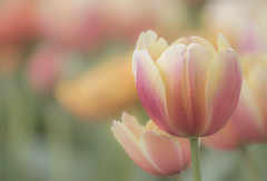 tulips (Mark Chandler Photography) Tags: 7dmarkii flowers ga georgia marietta markchandler nature tulips bokeh canon city color colour park photo photography stock flower mariettasquare pink yellow orange green garden spring flora