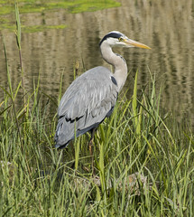 Grey Heron (Mal.Durbin Photography) Tags: forestfarm maldurbin wildlifephotography wildlife birds