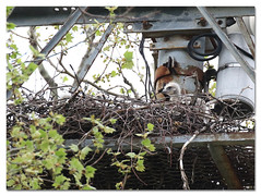 Happy Big Bird Day! (Redtail10025) Tags: red tailed hawk redtailedhawk eyass baby nestling hatchling nest young raptors wildlife nature urban