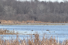 DSC_0195.jpg (turn off your computer and go outside) Tags: 2018 antigonecanadensis april birdsofminnesotaandwisconsinpage121 greenbaywestshoreswildlifearea marinettecounty peshtigoharborunit wi wisconsin bird clearskies40degrees critter identified morning nature outdoors sandhillcrane spring