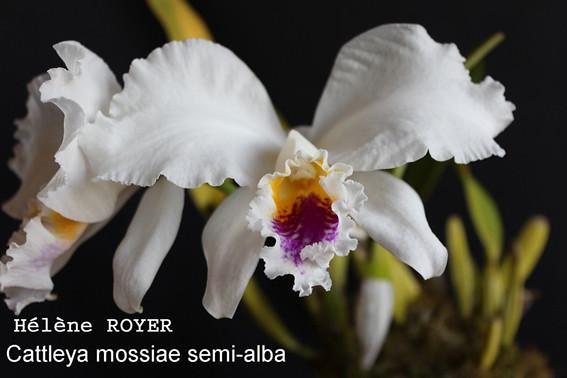 cattleya_mossiae_semi-alba-small