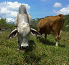 Torro y vaca marrón (ltimothy on/off) Tags: nwn bull torro cow vaca sky nubes clouids