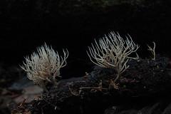 P4039365 Pterula sp. (razor4343) Tags: pterulasp pterula coralarffungi arffungi arfp qrfp tropicalarf coralfungi cheepickcairns pterulaceae