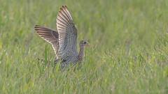 Upland Sandpiper (Bartramia longicauda) (ER Post) Tags: bird shorebird uplandsandpiperbartramialongicauda muskegon michigan unitedstates us