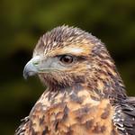 Chilean blue eagle thumbnail
