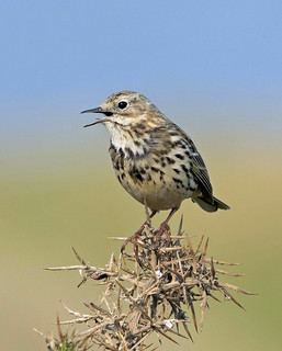 Meadow Pipit (Explore)