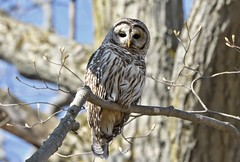 Watching From Above (hd.niel) Tags: barredowl owls wildlife nature ontario photography springtime