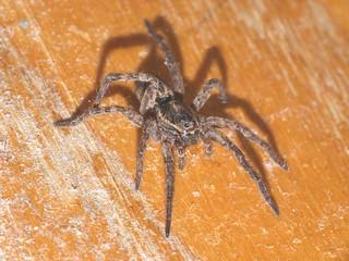 Unidentified Spider DSCF6194