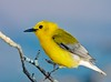 Stepping Along (ksharp2) Tags: bird smallbird small yellow songbird stepping tree branch yellowbird